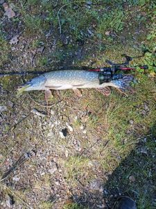 Northern Pike — Romain Rabache