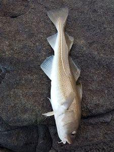 Atlantic Cod (Baltic) — Julien A