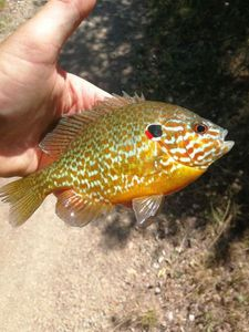 Green Sunfish — Mat Benedetti
