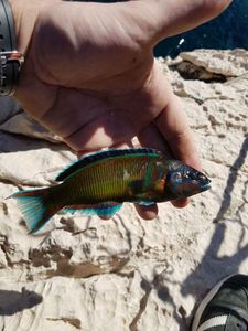 Ornate Wrasse — Fred Perry