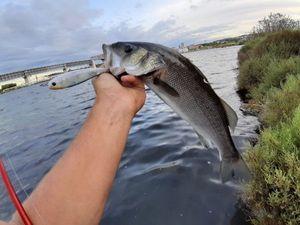 European Bass (Seabass) — Dentichon Pêche