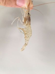 Common Prawn