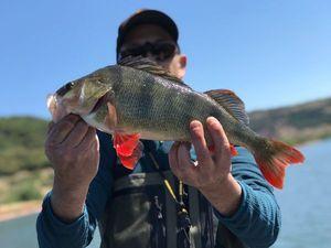European Perch — Lolo fishing