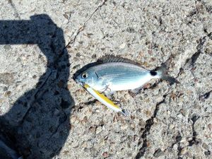 Saddled Seabream — Fishing Troll Spinning