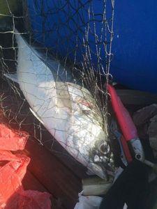 Thon Obèse — french strikefishing