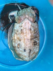 Common Cuttlefish