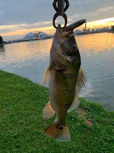 Peacock Bass ( Monoculus) — Julien Perol