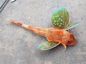 Grondin à ailes bleues (Chelidonichthys Kumu)
