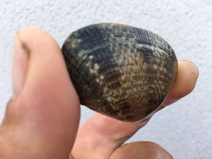 Grooved Carpet Shell