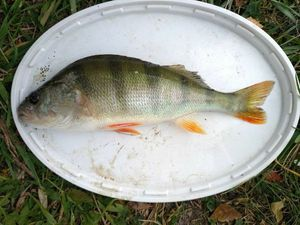 European Perch — fish-eur 54