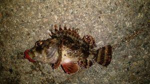 Brown Scorpionfish — Ludovic Deligny