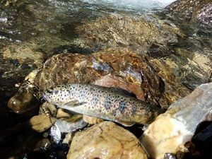 Brown Trout — Sese Lepecheur