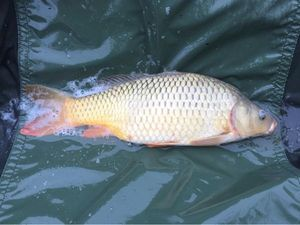 Common Carp — Mathias Pannetier