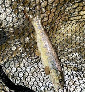 Atlantic Salmon (Juvenile) — Gabriel Gayraud