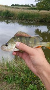 European Perch