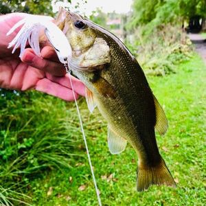 Largemouth Bass — Morgan Jarno