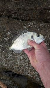 Black Seabream — Julien Oreal