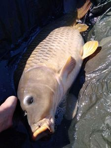 Common Carp — Lucas And Fish