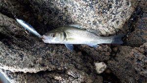 European Bass (Seabass) — Maxime THOMAS