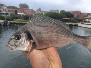 Gilthead Seabream — Fishing Porquerolles