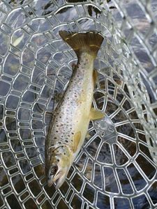 Brown Trout — Brice Zimmerlé