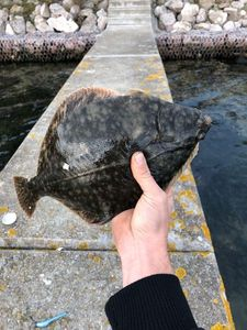 European Flounder — Kylian Martin