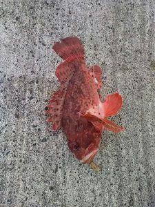 Red Scorpionfish — Nicolas Bloquet