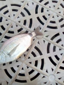 Annular Seabream