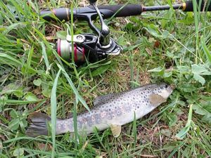 Common Trout