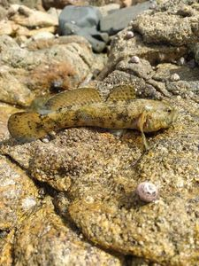 Giant Goby — my fish