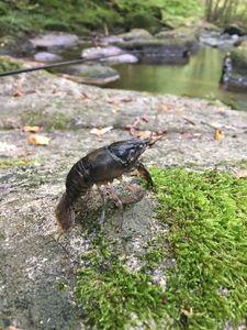 White-Clawed Crayfish — Johan Lefebvre
