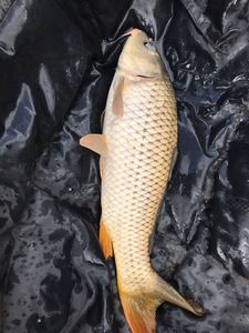 Common Carp — carnachasse86 sur YouTube