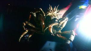 Common Spider Crab