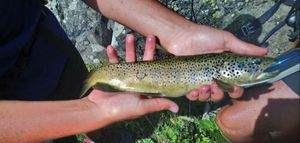 Brown Trout — Matt cdl