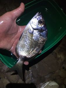 Common Two-banded Seabream — Matteo Sultana