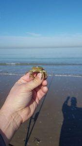 Crabe Enragé (Crabe Vert) — Geoffrey van Oosten