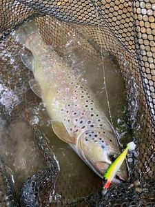 Brown Trout — Pescaïre 31