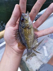 Rock Bass — Xavier TERCIER