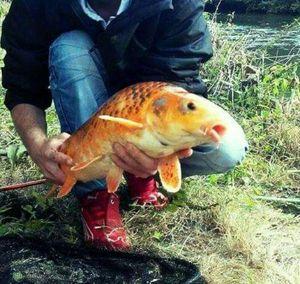 Koï Fish — Jmenbas Lescouille