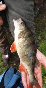 Yellow Perch — Johnny Anquetil