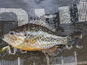 Green Sunfish — Geoffroy Amard