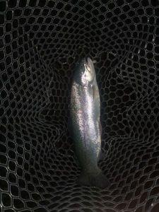 Rainbow Trout — Cyrille Curioz