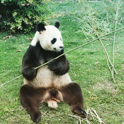 Panda Tonique
