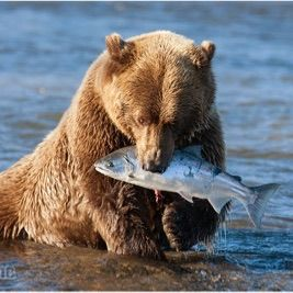 The Fishing Bear